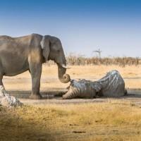 Слон скорбит
